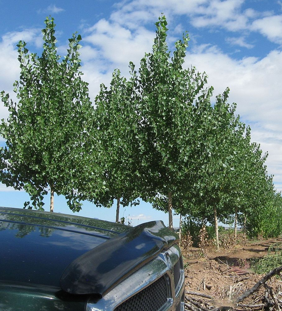 populus-deltoides-eastern-cottonwood-cottonless-poplar