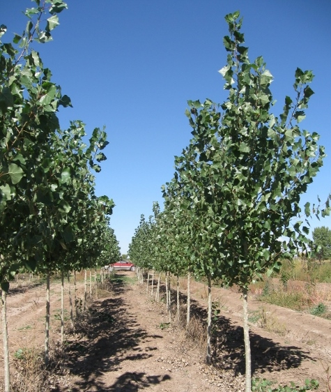 populus-deltoides-monilifera-plains-cottonwood