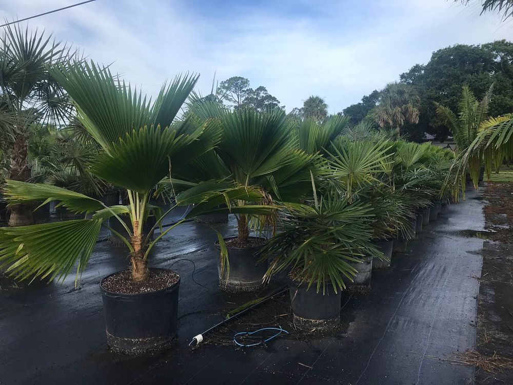 pritchardia-pacifica-fiji-fan-palm