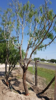 prosopis-glandulosa-honey-mesquite