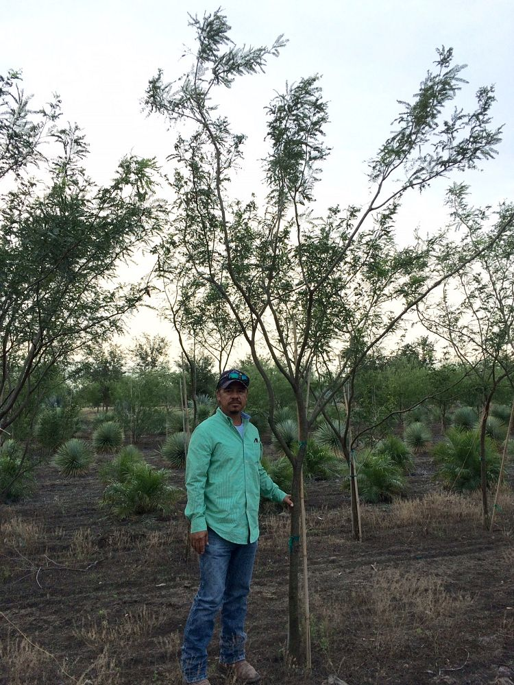 prosopis-glandulosa-maverick-thornless-honey-mesquite