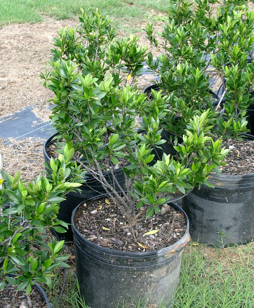 prunus-caroliniana-carolina-cherry-laurel