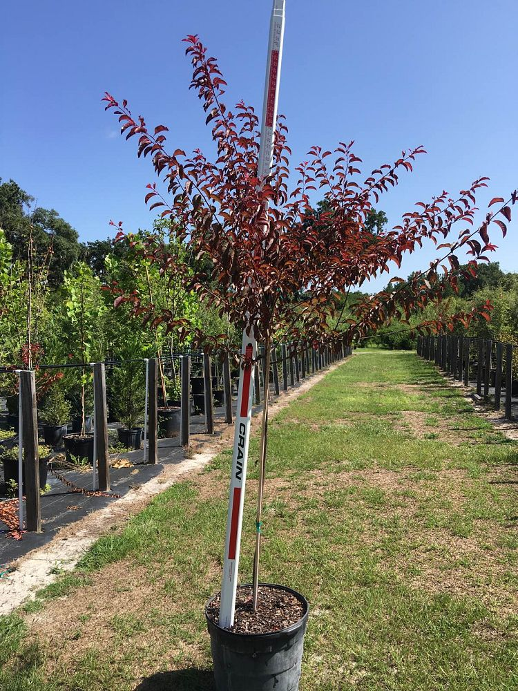 prunus-cerasifera-st-lukes-purple-leaf-cherry-plum