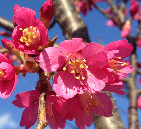 prunus-first-lady-flowering-cherry-first-lady
