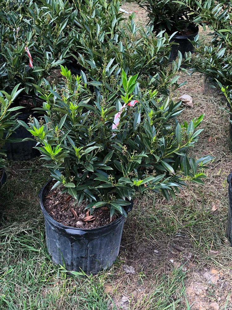 prunus-laurocerasus-otto-luyken-english-laurel-cherry-laurel