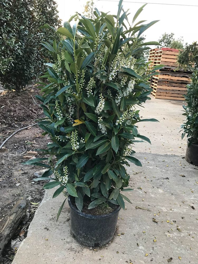 prunus-laurocerasus-schipkaensis-english-laurel-cherry-laurel-skip-laurel