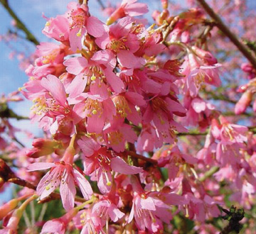 prunus-okame-flowering-cherry
