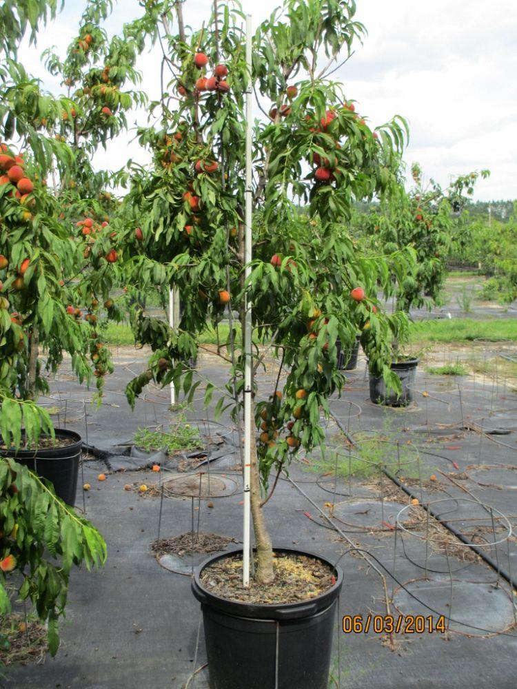 Prunus Persica Tree Prunus Persica Tropic Beauty