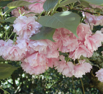 prunus-serrulata-kwanzan-japanese-flowering-cherry