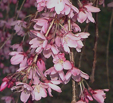 prunus-subhirtella-pendula-higan-cherry-japanese-weeping-cherry