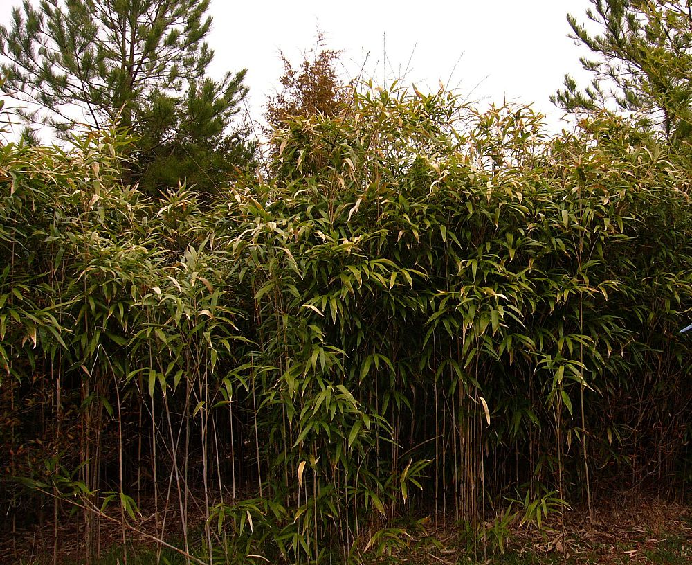 Cape May Bamboo Plantant Com