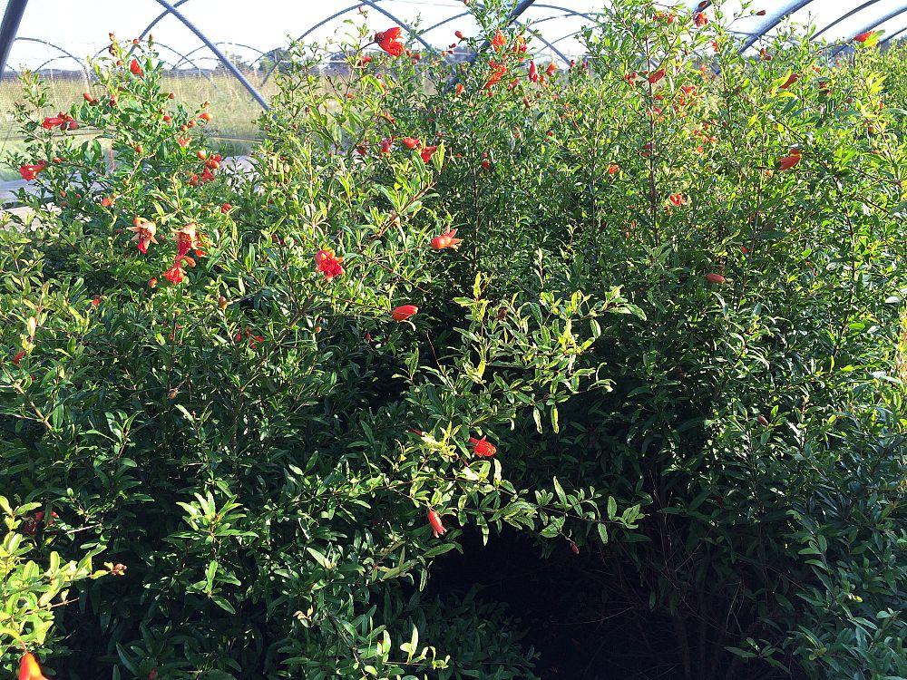 Pomegranate Nursery Thenurseries