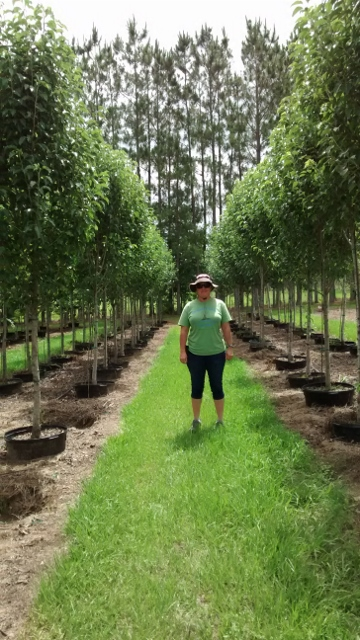 pyrus-calleryana-cleveland-select-callery-pear