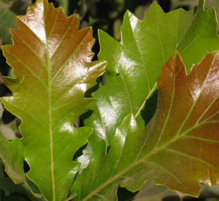 quercus-bicolor-bonnie-and-mike-beacon-reg-oak