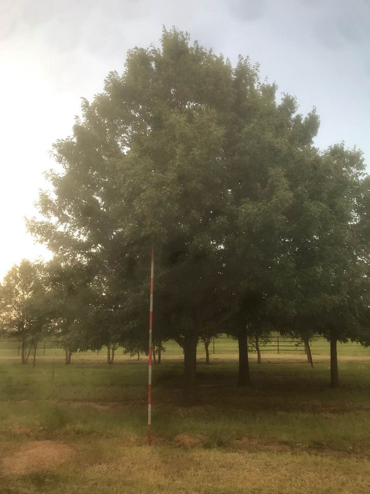 quercus-buckleyi-texas-red-oak