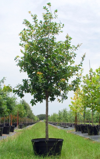 quercus-laceyi-lacey-oak-texas-blue-oak