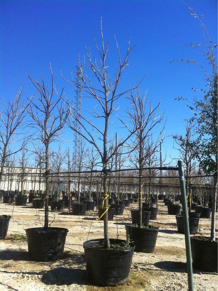 Alta Vista Nursery Fort Worth Plantant Com