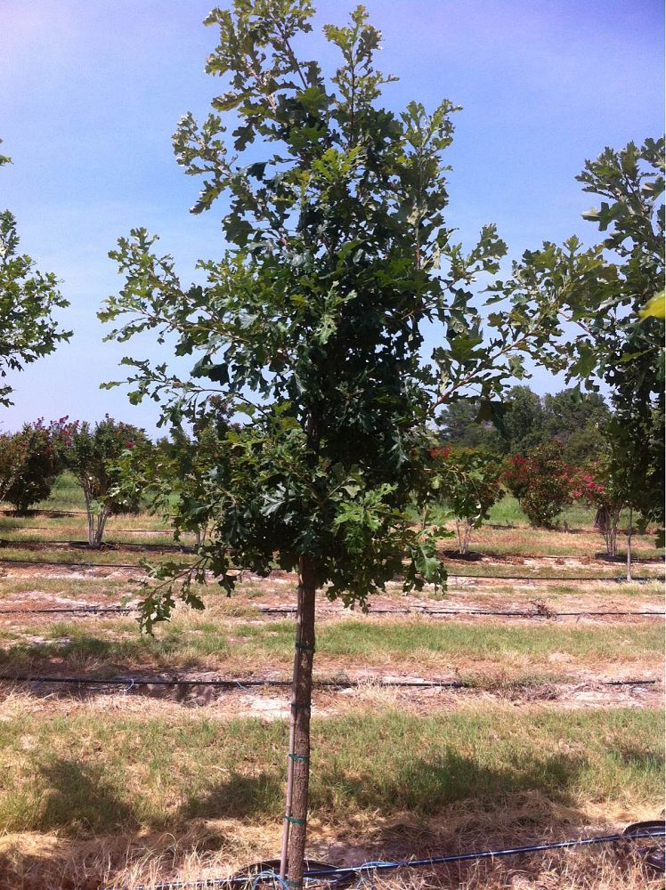 quercus-macrocarpa-bur-oak-tree