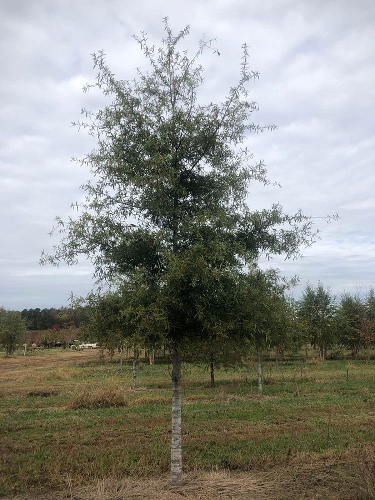 quercus-phellos-willow-oak