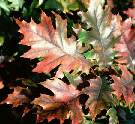 quercus-rubra-northern-red-oak-quercus-borealis