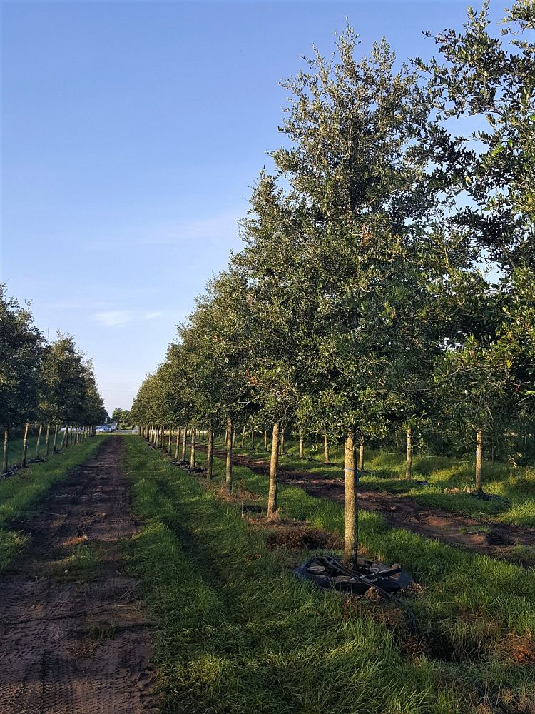 quercus-virginiana-boardwalk-live-oak