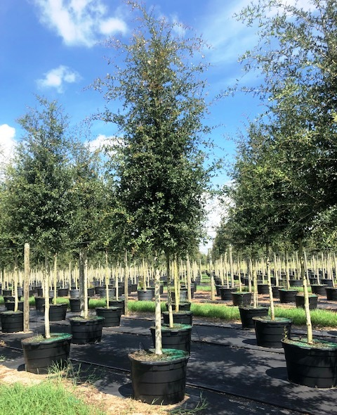 quercus-virginiana-cathedral-live-oak