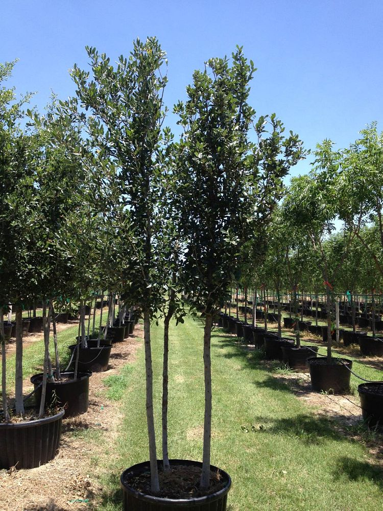 Image gallery flory tree farm for Trees for tight spaces