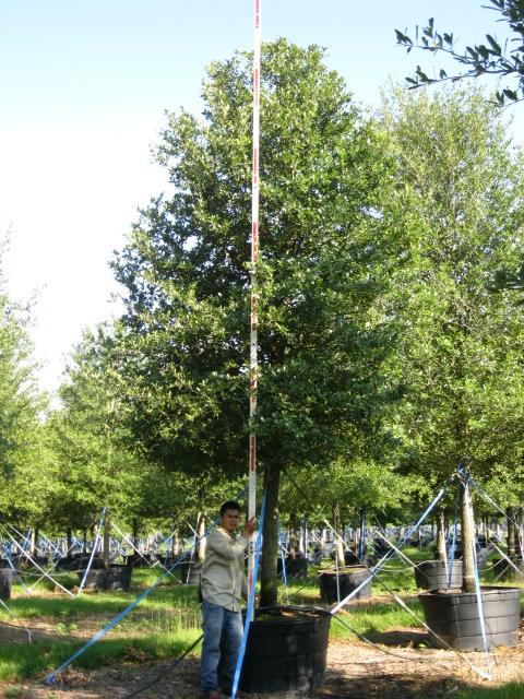 Quercus Virginiana Live Oak Southern Tree