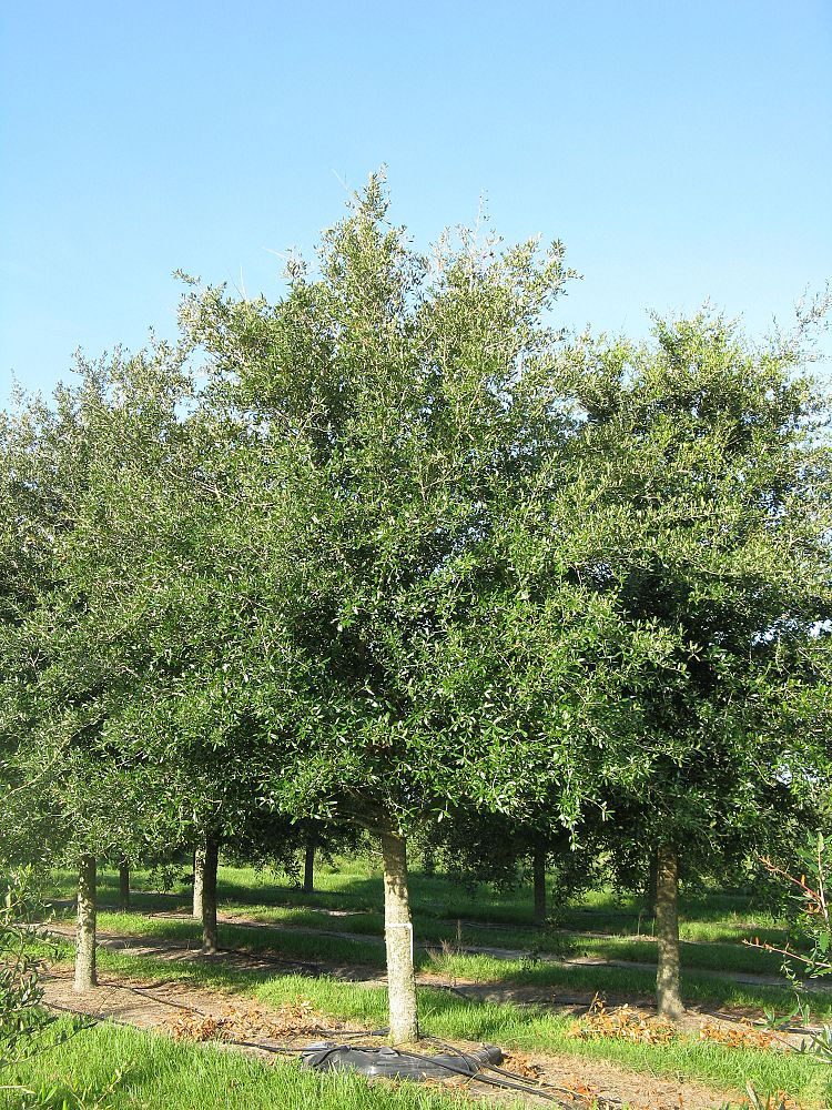 quercus-virginiana-park-side-live-oak