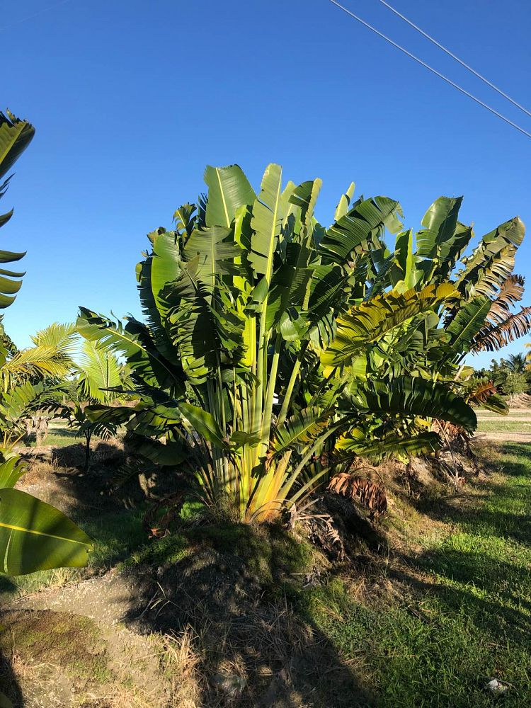 ravenala-madagascariensis-travelers-tree-travelers-palm
