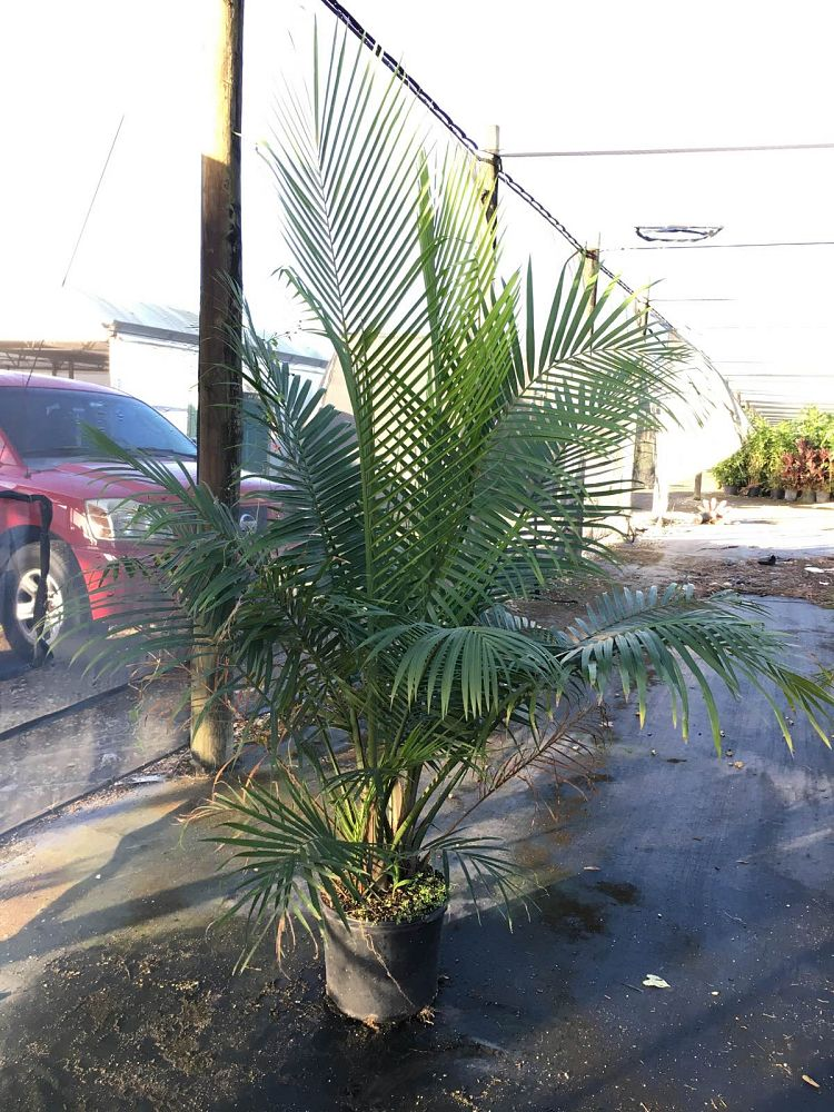 ravenea-rivularis-majesty-palm