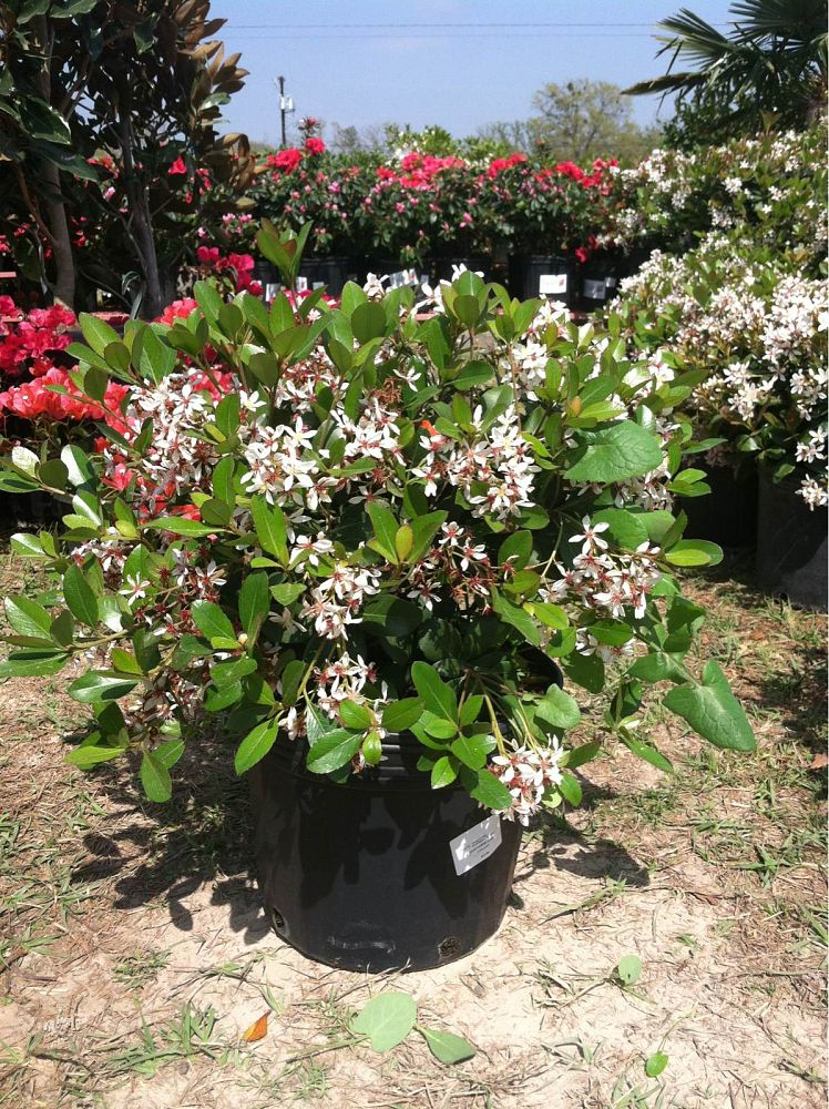 Indian princess nursery : Dwarf indian hawthorn clara