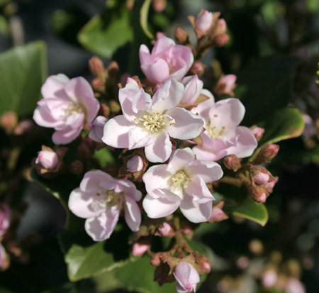 rhaphiolepis-indica-indian-princess-indian-hawthorn