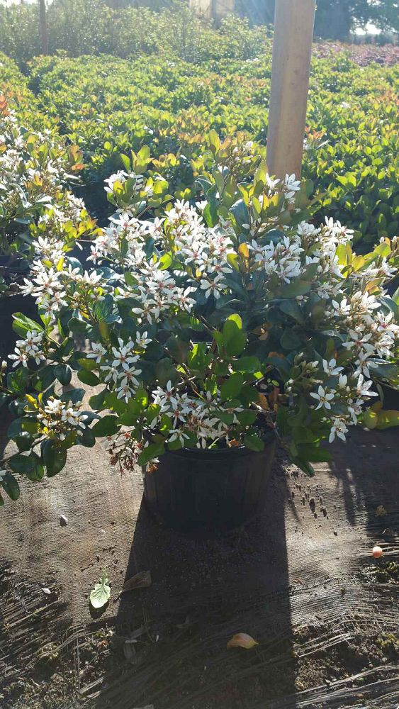 rhaphiolepis-indica-snow-white-indian-hawthorn