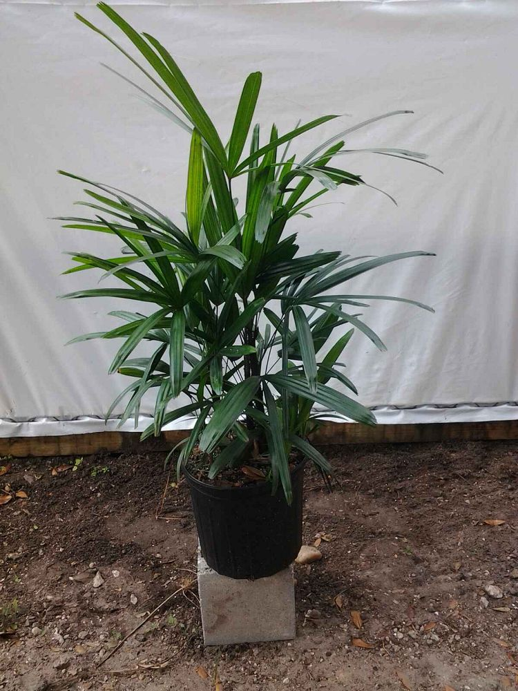 rhapis-excelsa-lady-palm
