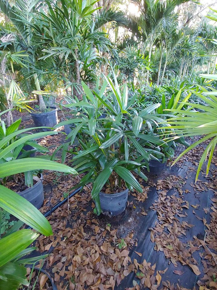 rhapis-lady-palm