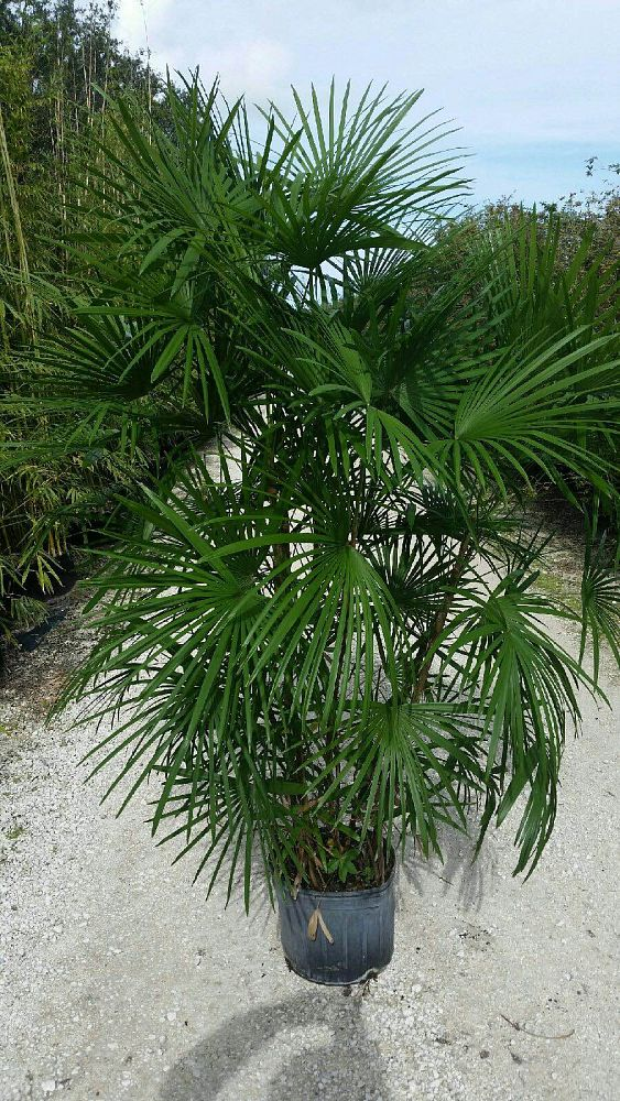 rhapis-multifida-jade-palm-finger-palm