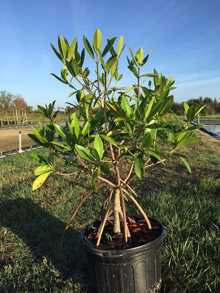 rhizophora-mangle-mangrove-red-american