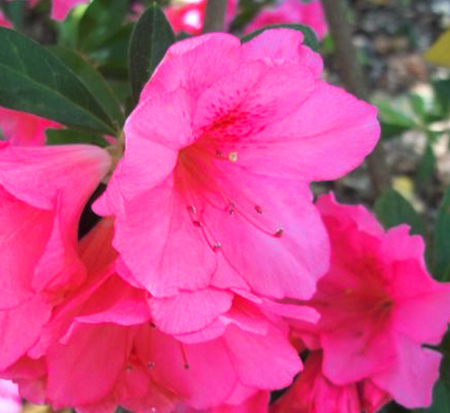 rhododendron-conles-encore-reg-autumn-empress-trade-reblooming-azalea