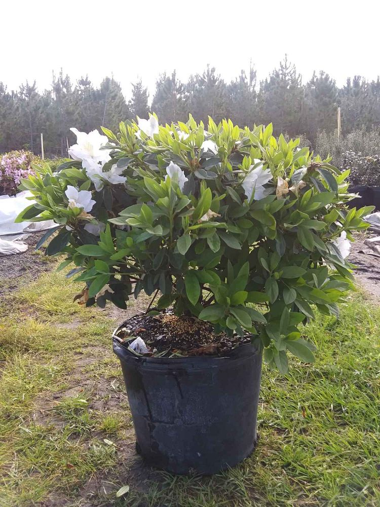 rhododendron-g-g-gerbing