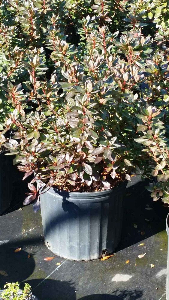 rhododendron-hershey-s-red-azalea