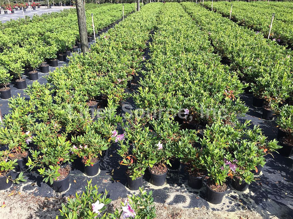 rhododendron-indicum-george-l-taber-southern-indica-hybrid-azalea-george-tabor-azalea