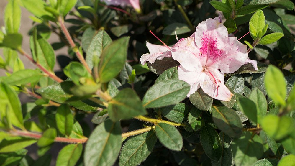 rhododendron-indicum-george-l-tabor-southern-indica-hybrid-azalea