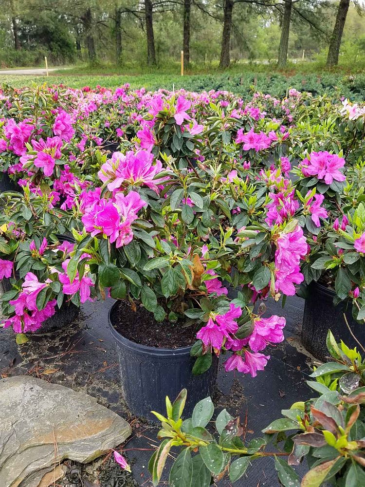 rhododendron-indicum-purple-formosa-southern-indica-hybrid-azalea