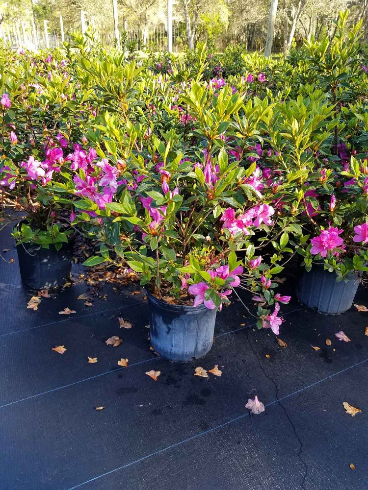 rhododendron-lavender-formosa-southern-indica-hybrid-azalea