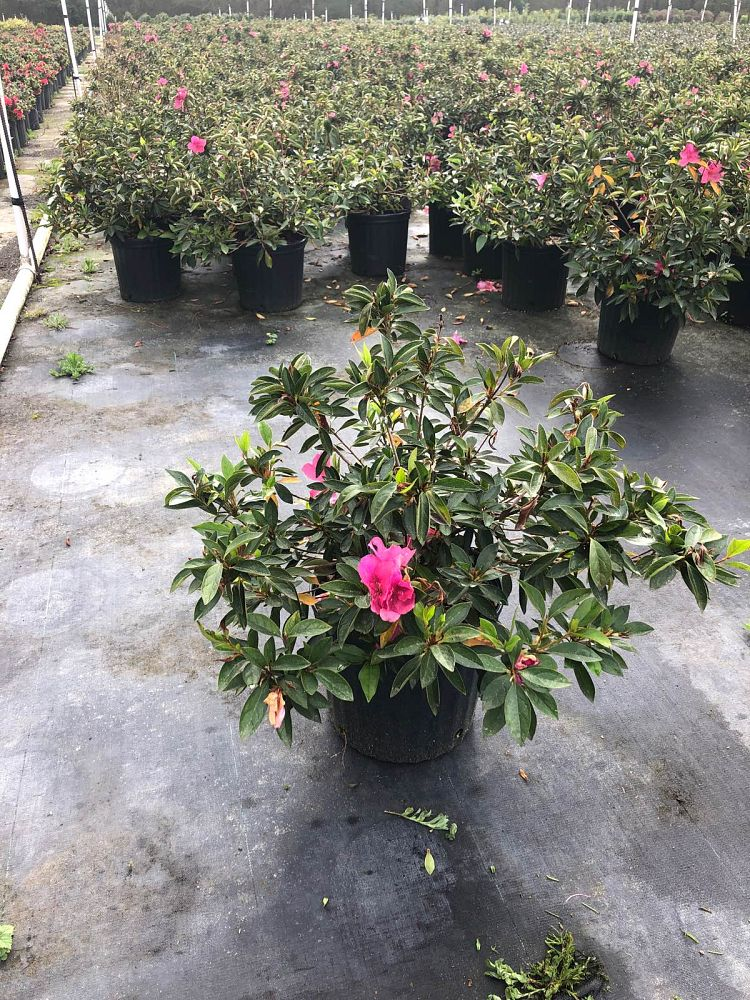 rhododendron-pink-formosa-southern-indica-hybrid-azalea