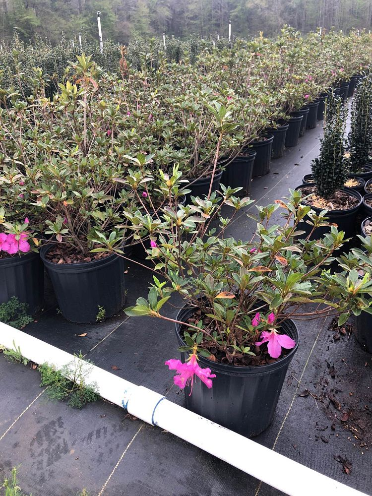 rhododendron-purple-formosa-southern-indica-hybrid-azalea