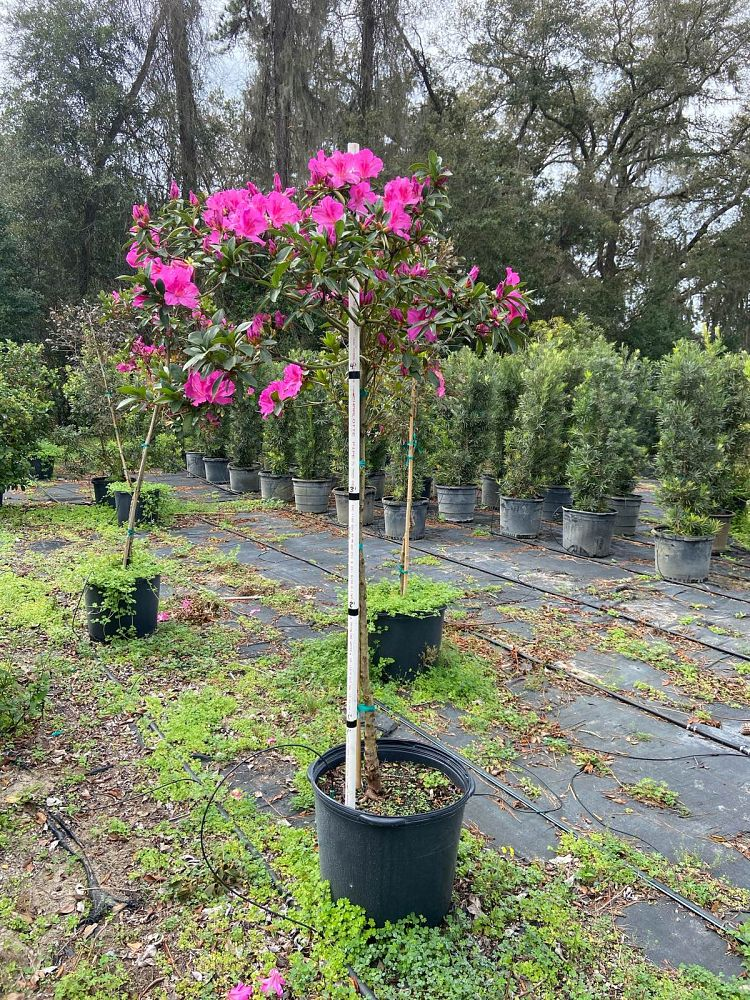 rhododendron-red-formosa-southern-indica-hybrid-azalea