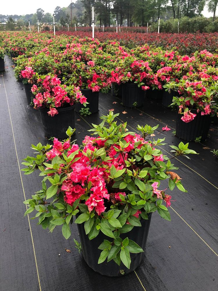 rhododendron-red-ruffles-rutherford-azalea