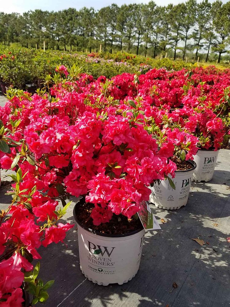 rhododendron-rlh1-1p2-evergreen-azalea-bloom-a-thon-red